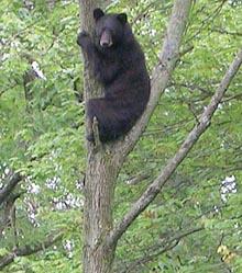 SCARED BEAR